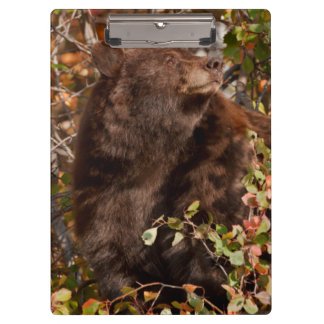 Black bear searching for autumn berries clipboard