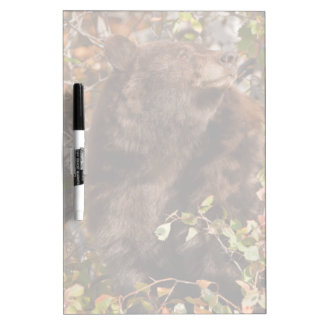 Black bear searching for autumn berries dry erase board