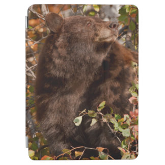 Black bear searching for autumn berries iPad air cover