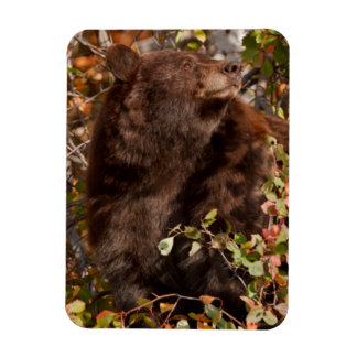 Black bear searching for autumn berries magnet