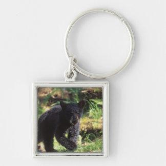 black bear, Ursus americanus, cub at Anan Key Ring