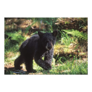 black bear, Ursus americanus, cub at Anan Photographic Print