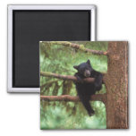 black bear, Ursus americanus, cub in a tree Fridge Magnet