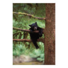 black bear, Ursus americanus, cub in a tree Poster