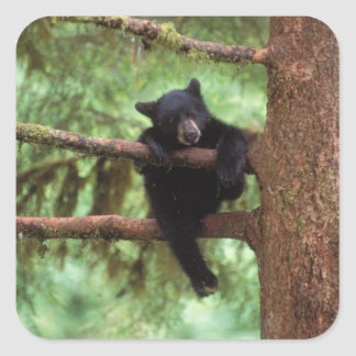 black bear, Ursus americanus, cub in a tree Square Sticker