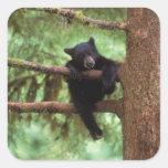 black bear, Ursus americanus, cub in a tree Stickers