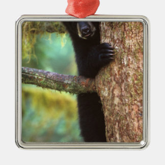 black bear, Ursus americanus, cub in tree, Anan Christmas Ornament