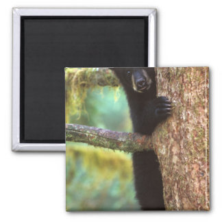 black bear, Ursus americanus, cub in tree, Anan Magnet