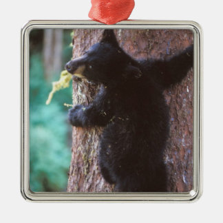 black bear, Ursus americanus, cub in tree, Christmas Ornament