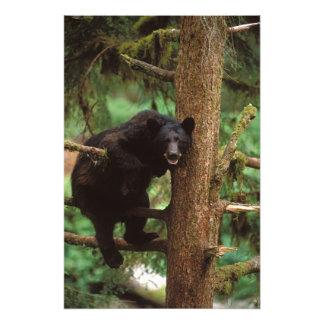 black bear, Ursus americanus, sow in a tree Photo Print