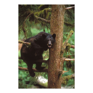 black bear, Ursus americanus, sow in a tree Photograph