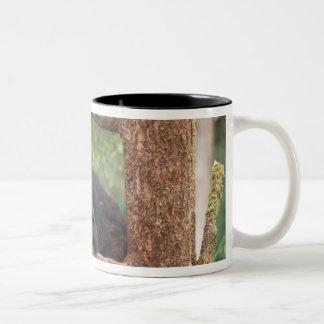 black bear, Ursus americanus, sow in tree, Anan Coffee Mugs