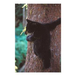 black bear, Ursus americanus, spring cub in a Photo Print