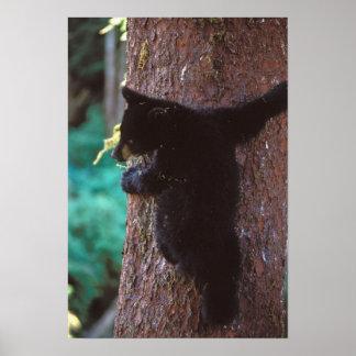 black bear, Ursus americanus, spring cub in a Poster