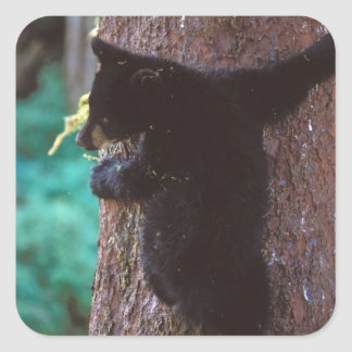 black bear, Ursus americanus, spring cub in a Square Sticker