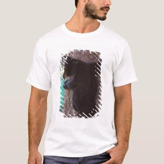black bear, Ursus americanus, spring cub in a T-Shirt