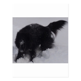 Black Belgian Shepherd in the Snow Postcard