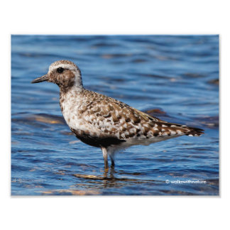 Black-Bellied Plover on the Shore Photo
