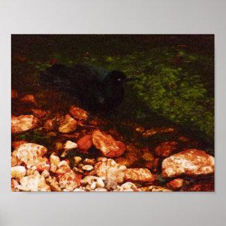 """Black Bird Bathing"" - Poster"