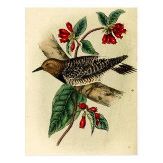 Black Breasted Woodpecker Postcard