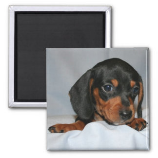 Black/Brown Dachshund Pup Square Magnet