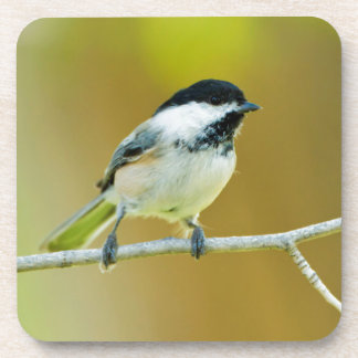 Black-Capped Chickadee Perched In Cottonwood Coaster