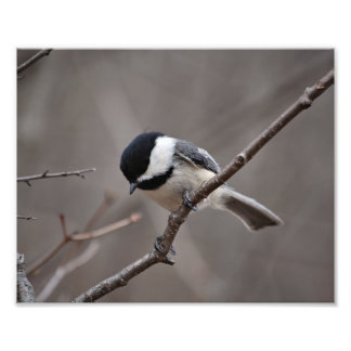 Black Capped Chickadee Photo Print