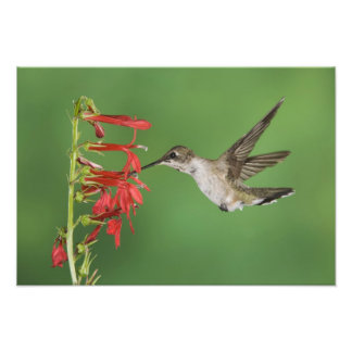 Black-chinned Hummingbird, Archilochus 2 Photo Print