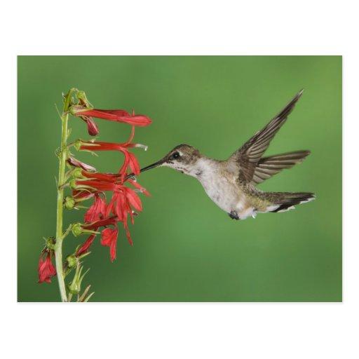 Black-chinned Hummingbird, Archilochus 2 Postcards