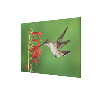 Black-chinned Hummingbird, Archilochus Canvas Print