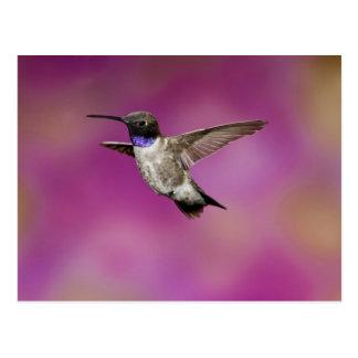 Black-chinned Hummingbird, Archilochus Post Card