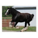Black Clydesdale Post Card