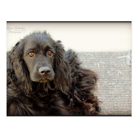 "Black Cocker Spaniel ""Harley"" Postcard"