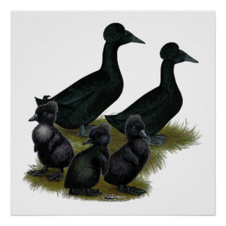Black Crested Duck Family Posters