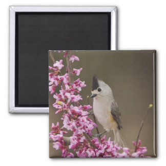 Black-crested Titmouse, Baeolophus Square Magnet