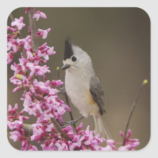 Black-crested Titmouse, Baeolophus Square Sticker