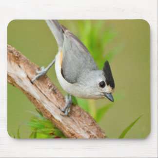 Black-Crested Titmouse Mouse Mat