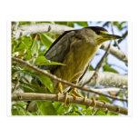 Black Crowned Night Heron Post Card