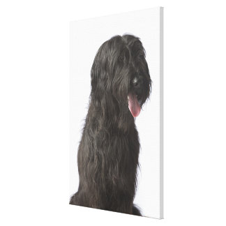 Black dog, Briard Canvas Print
