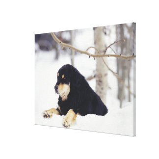 Black dog lying in snow canvas print
