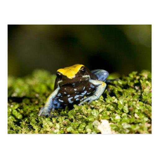 Black-eared Mantella, Mantella expectata, 2 Post Card
