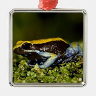 Black-eared Mantella, Mantella expectata, Christmas Ornament