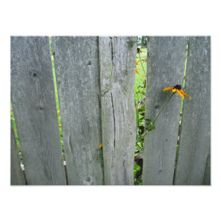 Black Eyed Susan Flower by Weathered Fence Photographic Print