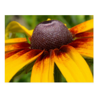 Black Eyed Susan Flower Postcard
