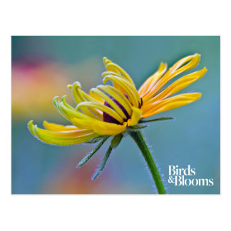 Black-eyed Susan Postcard