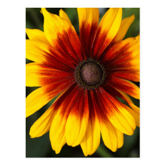 Black-eyed-Susan (Rudbeckia hirta) Postcard