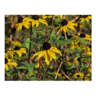 Black-eyed Susan Wildflower Postcard