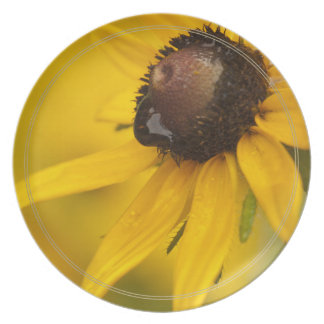 Black-Eyed Susan with a Teardrop Dinner Plate