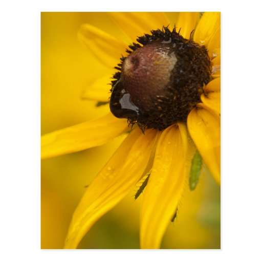 Black-Eyed Susan with a Teardrop Post Card