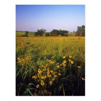 Black eyed Susans in tallgrass prairie at Neil Postcard